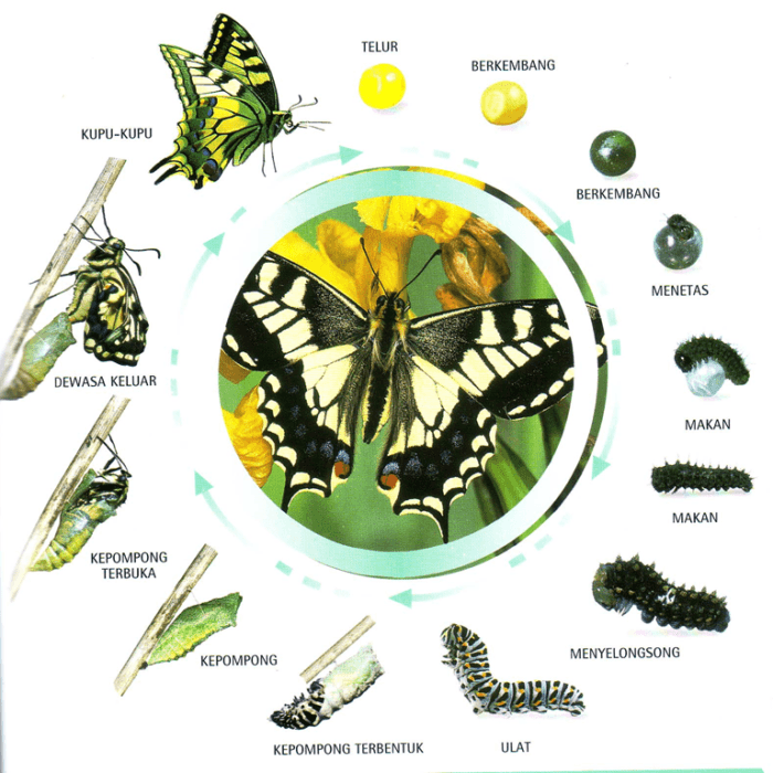 metamorfosis kupu
