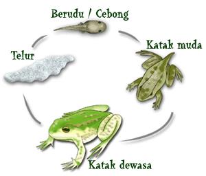 metamorfosis pada katak