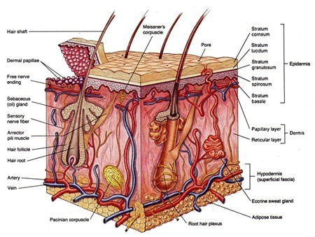skin cross section Sistem Koordinasi : Indera (4)