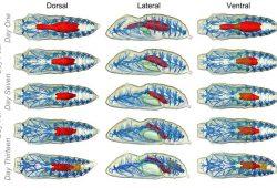 Beginilah proses yang terjadi dalam perkembangan kepompong