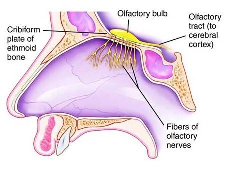 Skema penampang indera hidung manusia