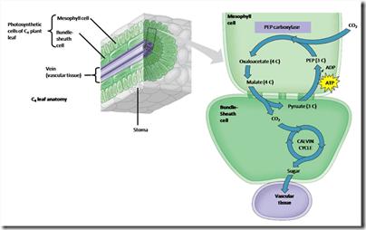 Fotosintesis Jenis Lain : Tumbuhan C4 dan CAM 1