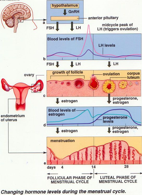 Sistem Reproduksi 3 Daur Menstruasi