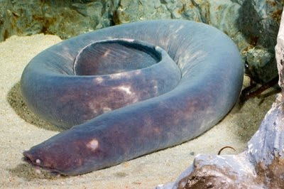 10 ikan prasejarah yang masih ada hingga sekarang 1