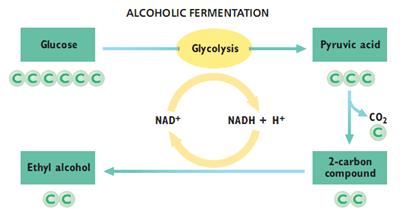 Respirasi Sel (Katabolisme) 5