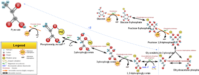 Respirasi Sel (Katabolisme) 1