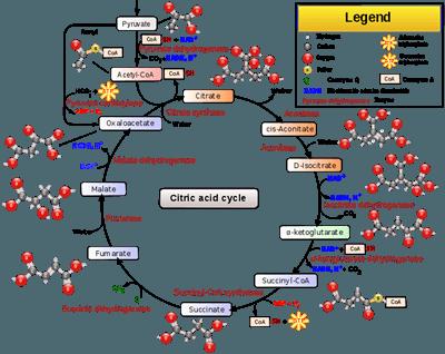 Respirasi Sel (Katabolisme)