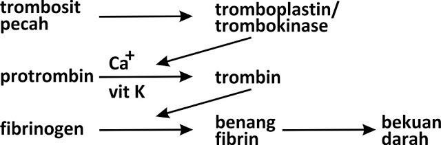 Sistem Transportasi (3) : Darah manusia 3