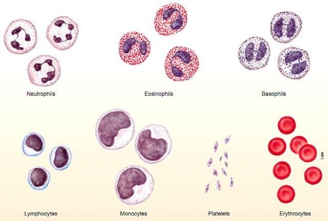 Sistem Transportasi (3) : Darah manusia 2