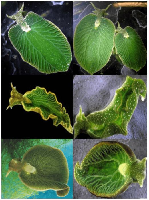 Elysia chlorotica : Siput yang bisa melakukan fotosintesis 2