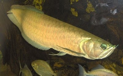 10 ikan prasejarah yang masih ada hingga sekarang 3
