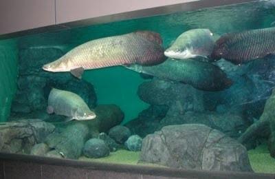 10 ikan prasejarah yang masih ada hingga sekarang 6