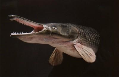 10 ikan prasejarah yang masih ada hingga sekarang 8