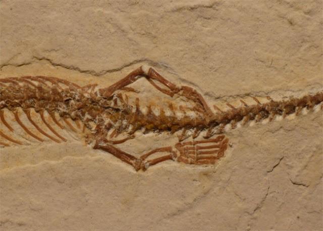 Fosil nenek moyang ular berkaki empat ditemukan 2