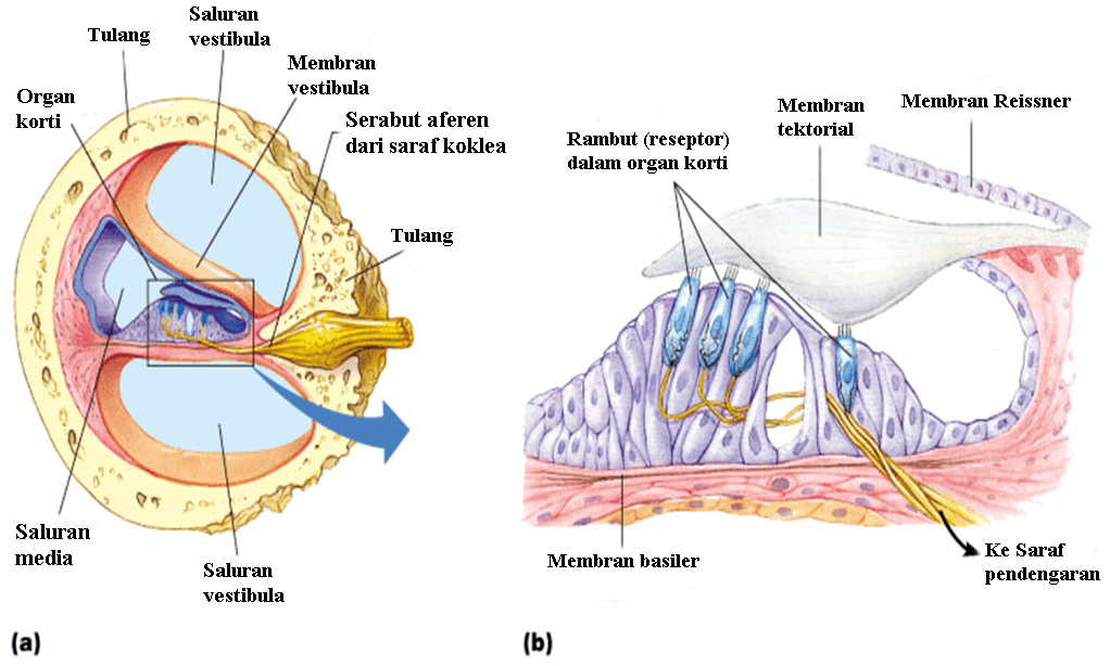 Sistem Koordinasi : Indera (4) 7