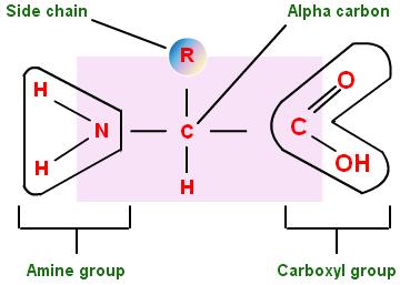 Daftar lengkap asam amino esensial dan non esensial