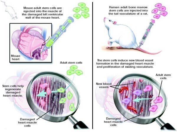 Menumbuhkan kuping pada cawan petri dengan stem cell 3