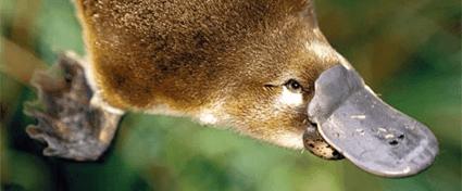 Platypus : Hewan petelur yang menyusui 3