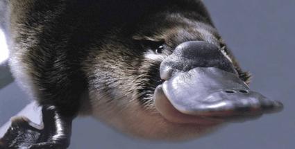 Platypus : Hewan petelur yang menyusui 5