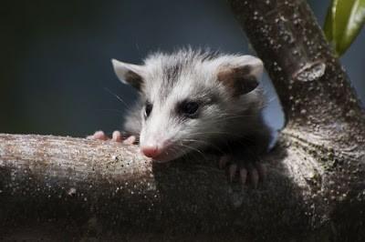 Cara reproduksi yang unik pada hewan 4