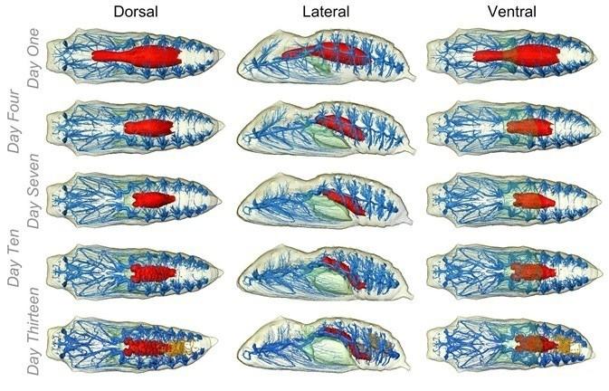 Beginilah proses yang terjadi dalam perkembangan kepompong 1