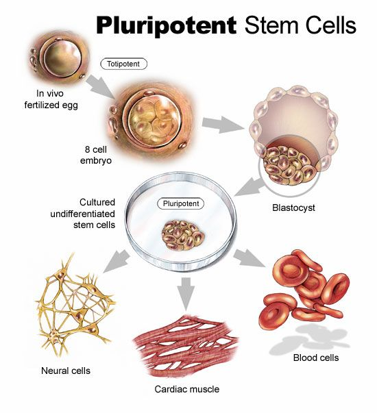 Menumbuhkan kuping pada cawan petri dengan stem cell 1