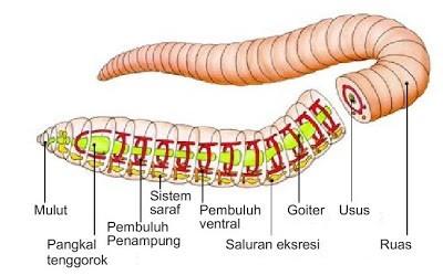 Sistem Respirasi (1) : Respirasi pada hewan tingkat rendah 3