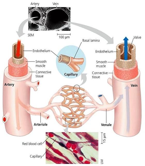 Sistem Transportasi (6) : Alat peredaran darah manusia