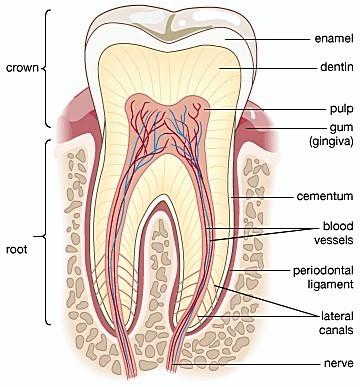 Sistem Pencernaan (3) : Organ-organ pencernaan manusia 2