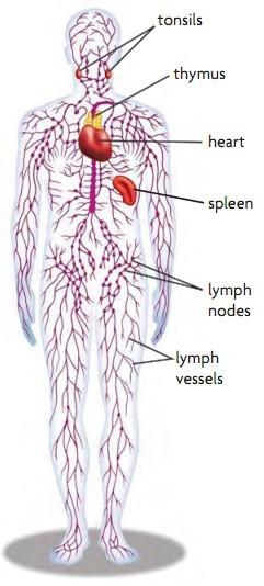 Sistem Transportasi (6) : Alat peredaran darah manusia 4