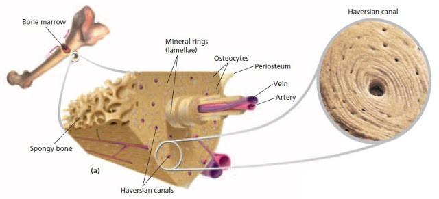 Sistem gerak pada manusia (1) : Tulang