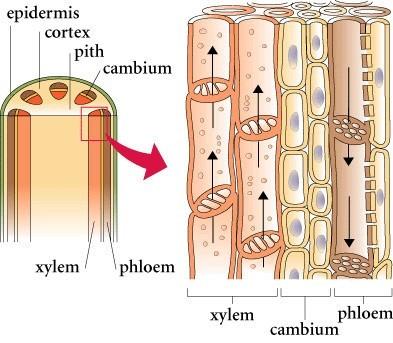 Jaringan pada tumbuhan (2) : Jaringan dewasa