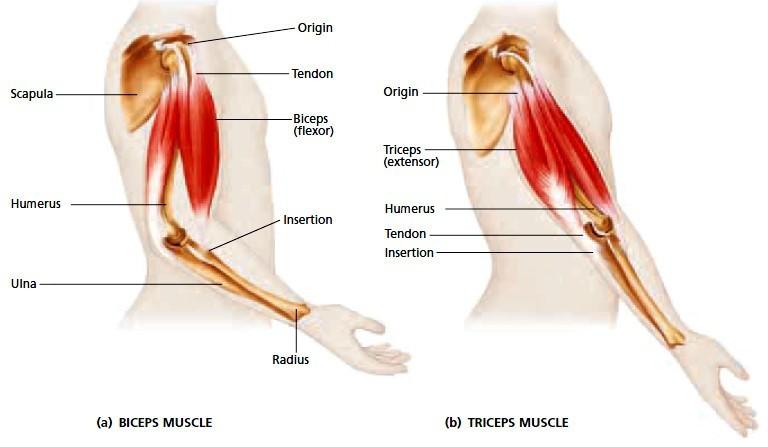 Sistem gerak pada manusia (2) : Otot