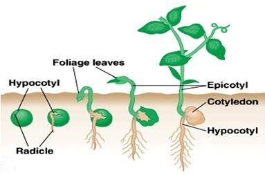 Pertumbuhan dan Perkembangan (1) : Pertumbuhan dan Perkembangan pada Tumbuhan 1