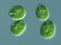 Reproduksi Vegetatif pada Tumbuhan 2