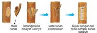 Reproduksi Vegetatif pada Tumbuhan 11
