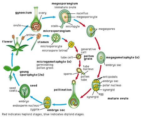 Reproduksi Generatif pada Tumbuhan 7