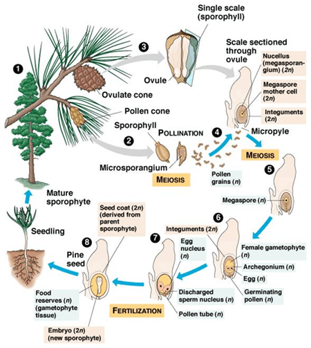 Reproduksi Generatif pada Tumbuhan 6
