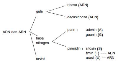Nukleotida : Komponen utama penyusun ADN dan ARN 1