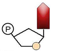 Nukleotida : Komponen utama penyusun ADN dan ARN 2