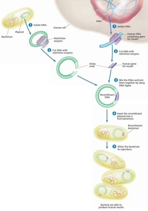 Bioteknologi (5) : Membuat insulin dengan bantuan E. coli 1