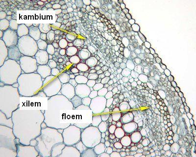 Jaringan pada tumbuhan (1) : Jaringan meristem 1