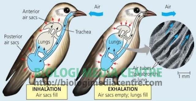Sistem Respirasi (2) : Respirasi pada hewan Vertebrata