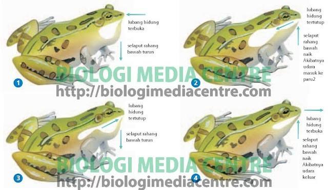 Sistem Respirasi (2) : Respirasi pada hewan Vertebrata 2