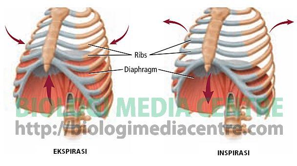 Sistem Respirasi (3) : Respirasi pada Manusia